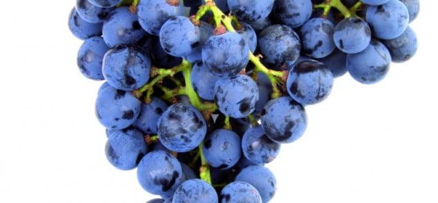 Winorośl Pinot Noir