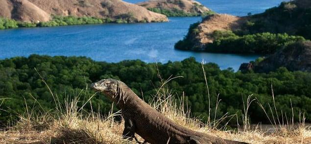 Największy widziany dotąd okaz warana z Komodo miał 365 cm długości Fot.dreamstime