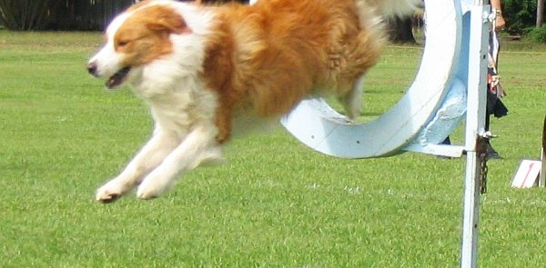 Bordercollie-ankc-agility Fot.Bcsr4ever