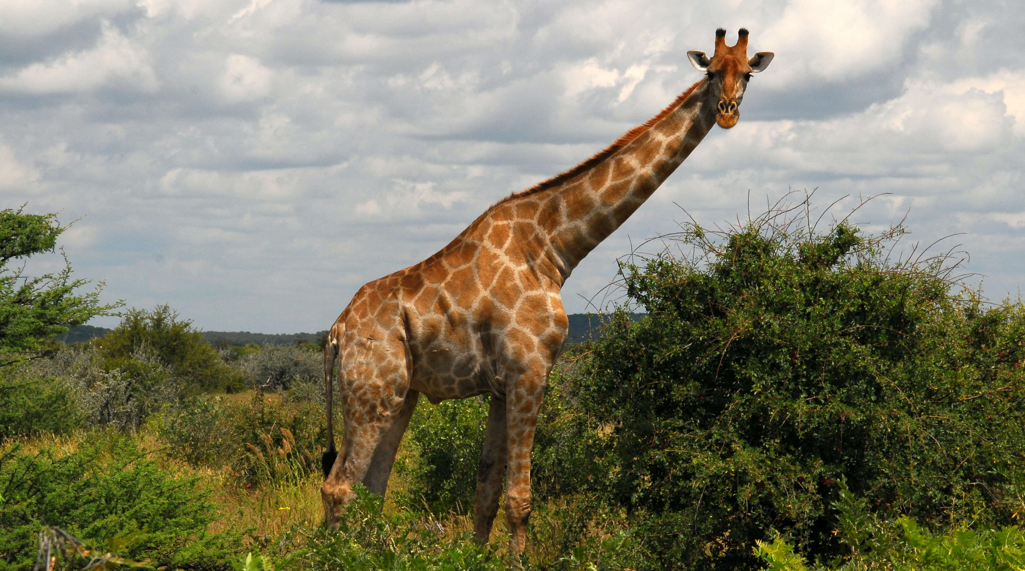 Pierwszymi zwierzętami na jakie możemy natknąć sie w Parku Narodowy Etosza są doskonale widoczne żyrafy. Fot. Piotr Grzybowski