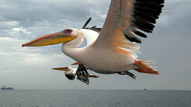 Te sympatyczne ptaki towarzyszą łodziom od momentu wypłynięcia z portu. Fot. Piotr Grzybowski
