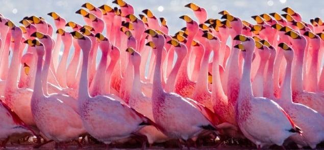 Boliwia Flamingi