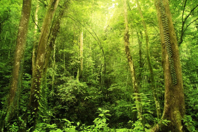 Las na Borneo. Fot.Fotolia.com
