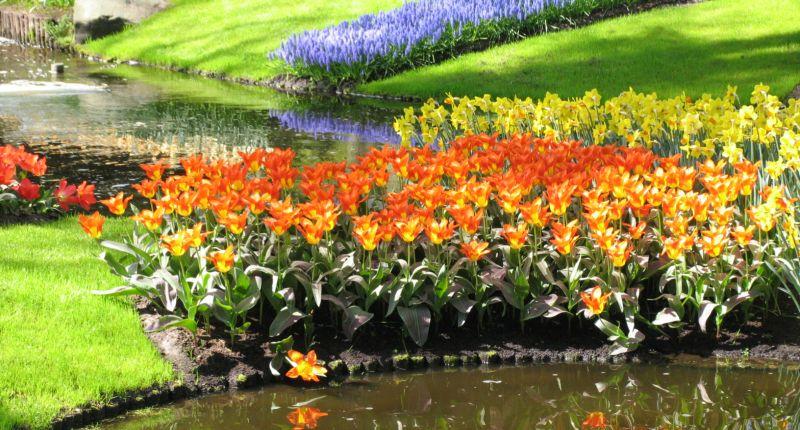 tulipany ikona