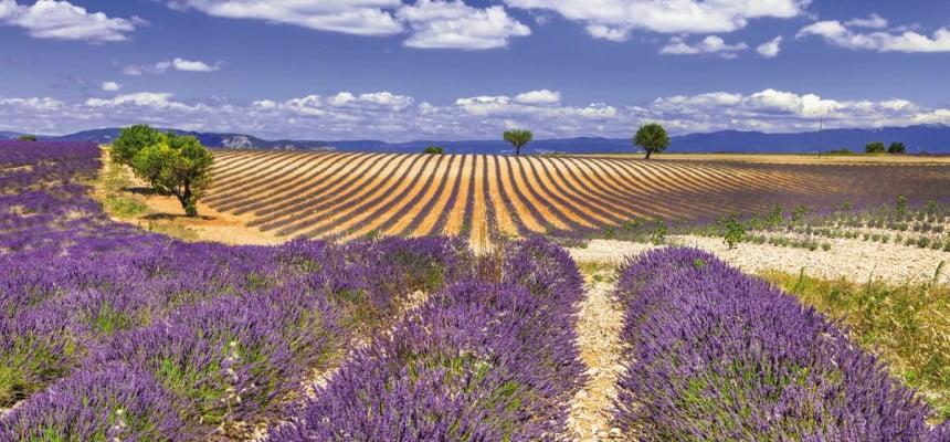 Lawendowe pola to wizytówka Prowansji. Fot. Fotolia.pl
