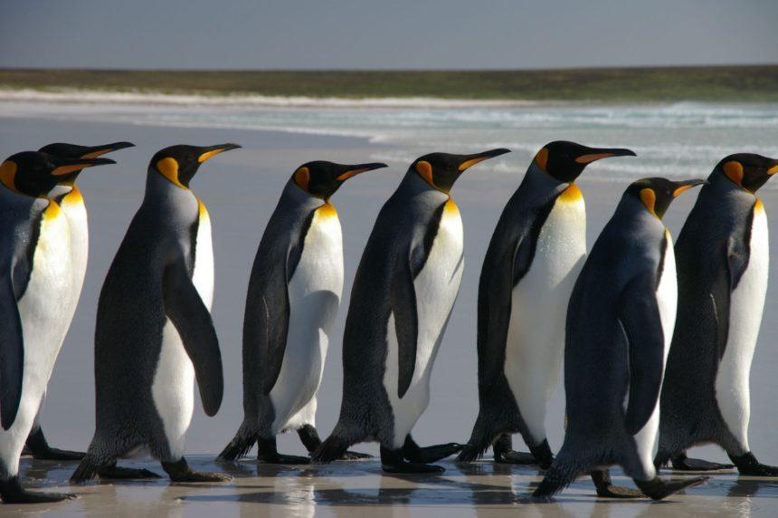 Pingwiny na Falklandach. Fot Ben Tubby, flickr.com, CC by2.0